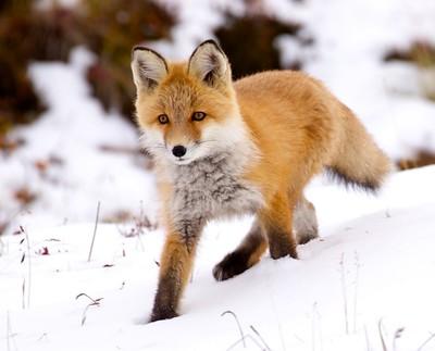 Renard marchant dans la neige, en pente, la patte arrière gauche très en biais